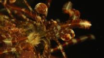 Crinoids At Night