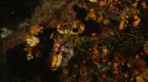 Tunicates Or Ascidians Among Other Invertebrates On Reef