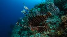Following Lion FIsh Over Reef Top