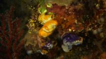 Solitary Tunicates On Reef