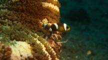 Porcelain Crab And Anemone Fish In Host