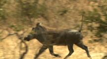 Warthog Trots Through Scrub