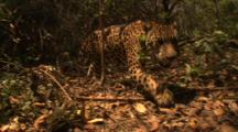 Amazon: Jaguar Walking Through Jungle