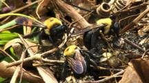 Carpenter Bees Feeding
