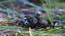 Male Eastern Hercules (Rhinoceros) Beetle Displaying Horns