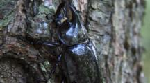 Male Eastern Hercules (Rhinoceros) Beetle Climbing Tree