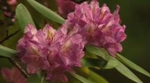 Rhododendron In Bloom Beside Mountain Stream