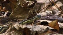 Garter Snake Slithers Through Leaves