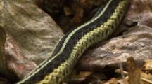 Garter Snake Slithers - Body Shot