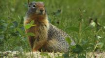 Columbian Ground Squirrel On Alert