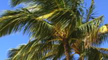 Coconut Palm Tree In Wind