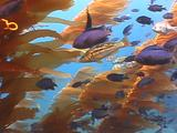 Kelp Forest, Blacksmith And Kelp Bass