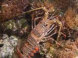 Spotted Spiny Lobster Hunting