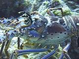 Male Caribbean Spiny Lobster On Reef