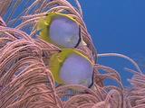 Spotfin Butterflyfish In Sea Whips