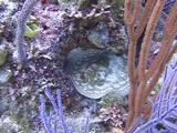 Yellow Stingray In Reef