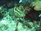 Nassau Grouper Enters Reef Crevice
