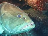 Nassau Grouper Waits For Cleaning