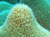 Pillar Coral Close-Up