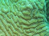 Maze Coral Close-Up