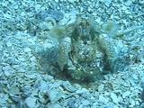 Scaly-Tailed Mantis Shrimp Cleans Burrow