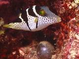 Black Saddled Toby Puffer Fish