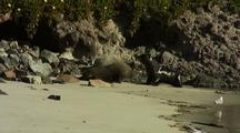 New Zealand Fur Seals Fight