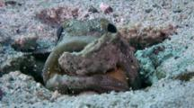 Jawfish Removing A Rock From Its Burrow With Its Mouth