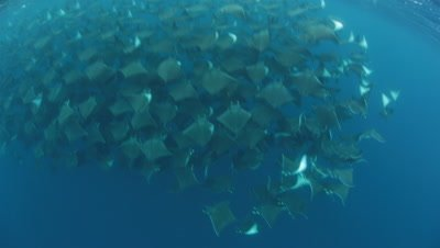 Smoothtail Mobula Rays schooling in blue water off Baja California Peninsula Coast