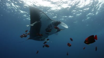 Pacific Giant Mantas getting clean by Clarion Angel Fishes
