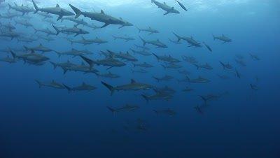 Sharks Schooling