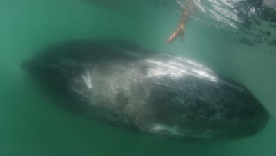 Gray Whales being pet by people at Magdalena Bay Lagoon