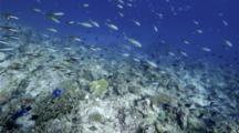 4k | Fusilier Fish School Swim Over Reef | Maldives
