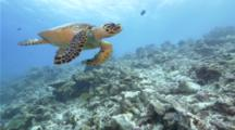 4k | Hawksbill Sea Turtle Swimming Toward Camera | Maldives