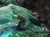 Octopus Swims Lands Changes Color