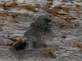 Sea Otter In Surface Kelp