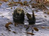 Sea Otter Rafting In Kelp Forest
