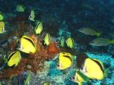 Scythe Butterfly Fish At Cleaning Station
