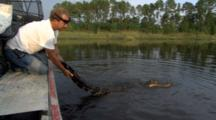 American Alligator Swims At Surface, Man In Boat Grabs Tail