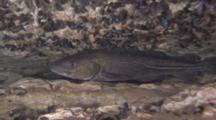 Baltic Sea Cod, Gadus Morhua, Hiding In Silurian Reef Crevices