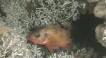 Noway Redfish (Sebastes Viviparus) Hiding In Cold Water Coral Reefs (Lophelia Pertusa)
