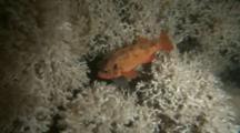 Noway Redfish (Sebastes Viviparus) Hiding In Cold Water Coral Reef (Lophelia Pertusa)