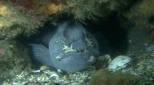 Atlantic Wolffish (Anarhichas Lupus), Seawolf, Atlantic Catfish, Ocean Catfish, Wolf Eel, Feeding