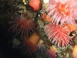 Sea Anemones Colony (Urticina Felina)