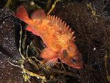 Redfish (Sebastes Viviparus)