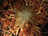 Basket Star (Gorgonocephalus Caputomedusae)