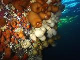 Plumose Anemone Colony (Metridium Senile)
