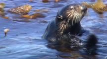 Sea Otter Foraging In Kelp Forest