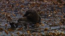 Sea Otter Female With Young Pup Resting In Kelp Forest At Point Lobos