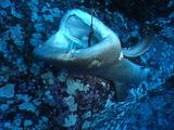Whitetip Reef Shark (Triaenodon Obesus) Caught On Long-Line